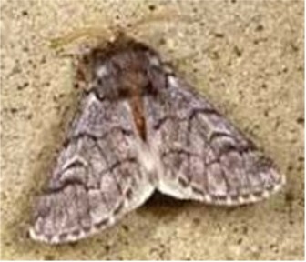 Mariposa adulto