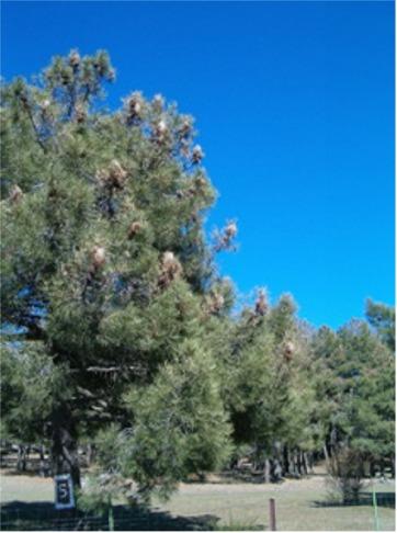 Defoliación intensa en pinares (Ávila)