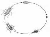 ciclo biológico Blatella germanica
